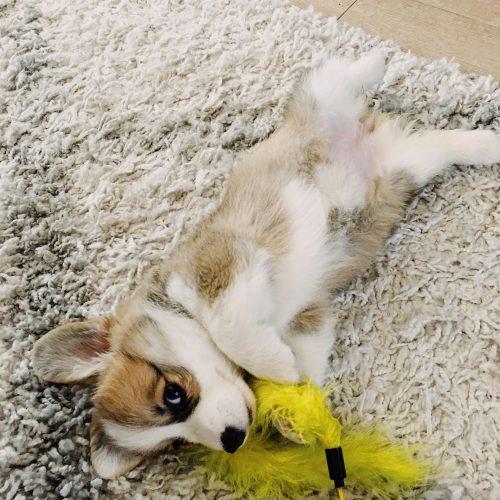 willo the corgi puppy